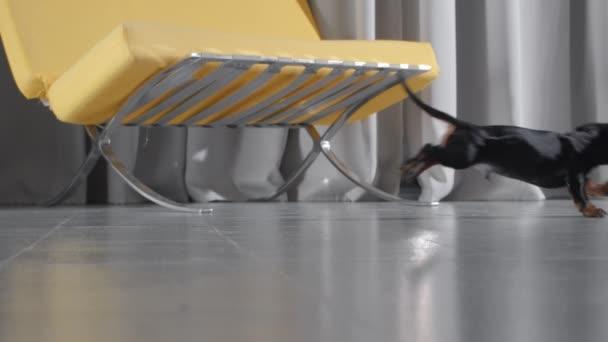 tacskó teckel kiskutya fut balról jobbra, hogy elkapja a játékmackót, és kap vissza a teddy mackó a szájban3