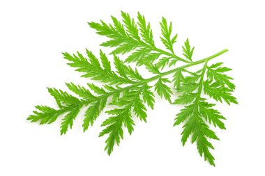 Artemisia annua  branch isolated on white background