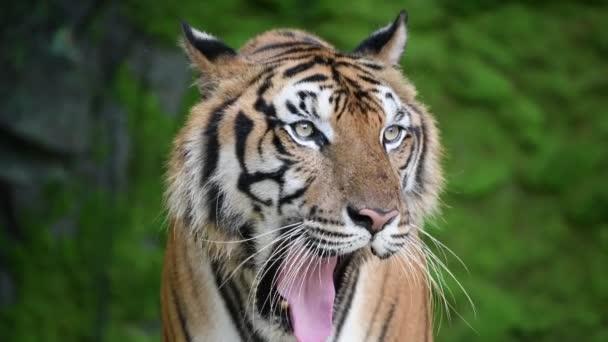 zblízka sibiřského tygra