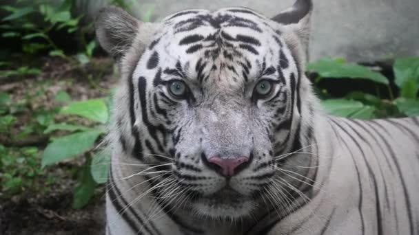 Bílý tygr - zavřít