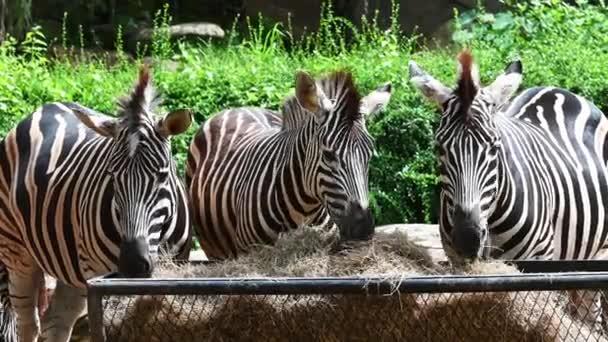 Skupina zebry konzumní suchou trávu v košíku