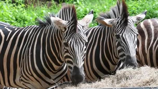 Csoportja zebrák eszik száraz fű a kosárba