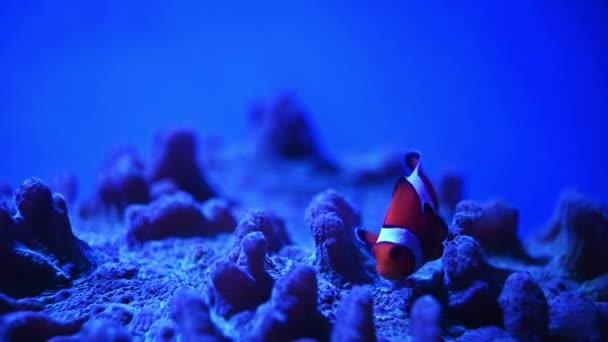 Tropické klaunské ryby plavou v anemonu