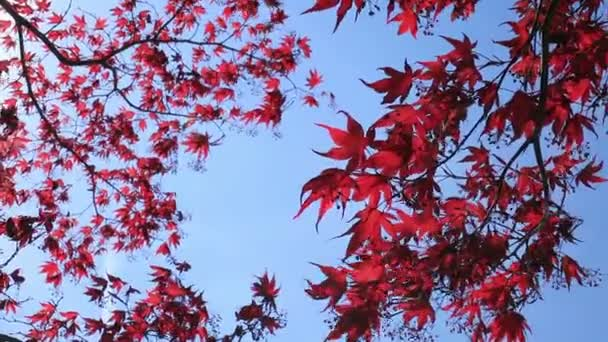 Red Maple Leaves In Autumn Season With Blurred Background
