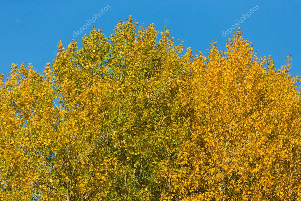 Trees with yellow leaves against the sky. Autumn.