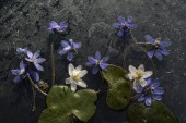 spring blue flowers  close up