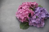 Pink and violet bouquet of hydrangea flowers on grey surface background