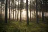 Foggy mystery forest as background