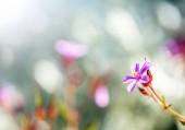 Herb robert - Kakost smrdutý, kvetoucí na jaře zahradu. Flower bokeh. Selektivní fokus