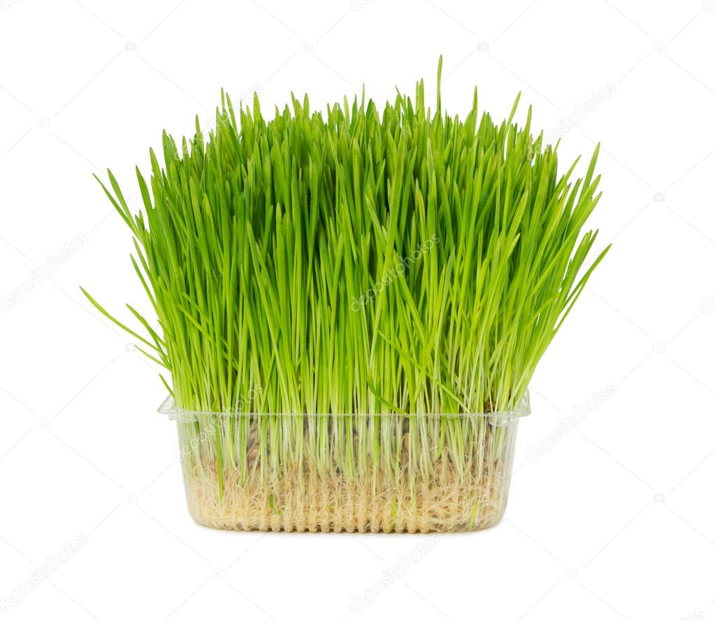 Fresh grass for cats in plastic box isolated on white background.