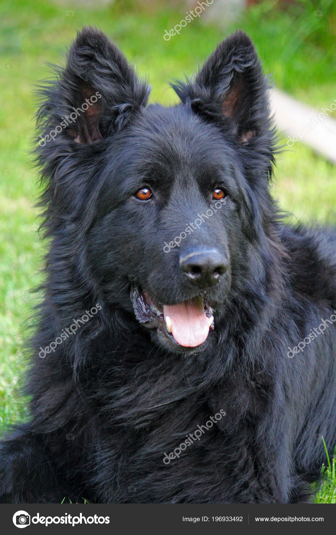 Inteligentny Cały Czarny Długowłosy Owczarek Niemiecki Pies Ogrodzie — Zdjęcie RD33