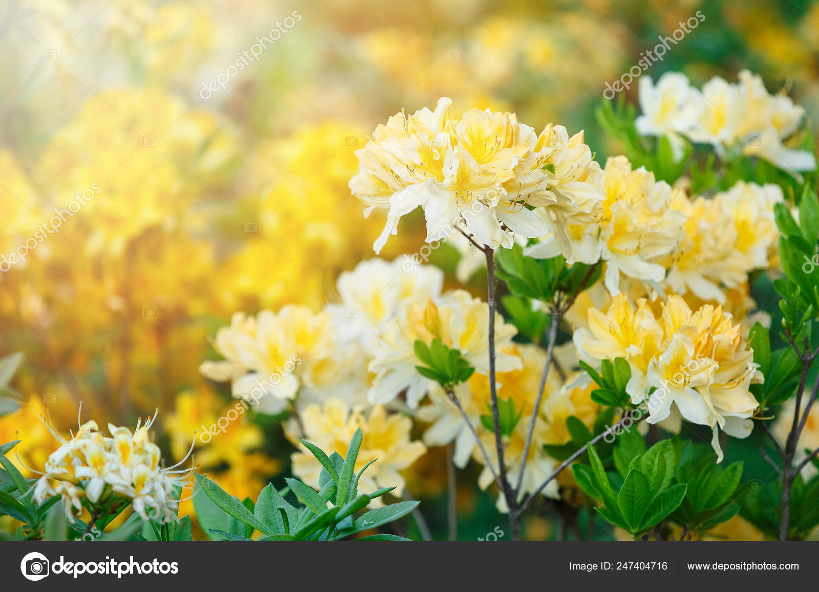 Colorful Yellow Azalea Flowers Garden Blooming Bushes Bright