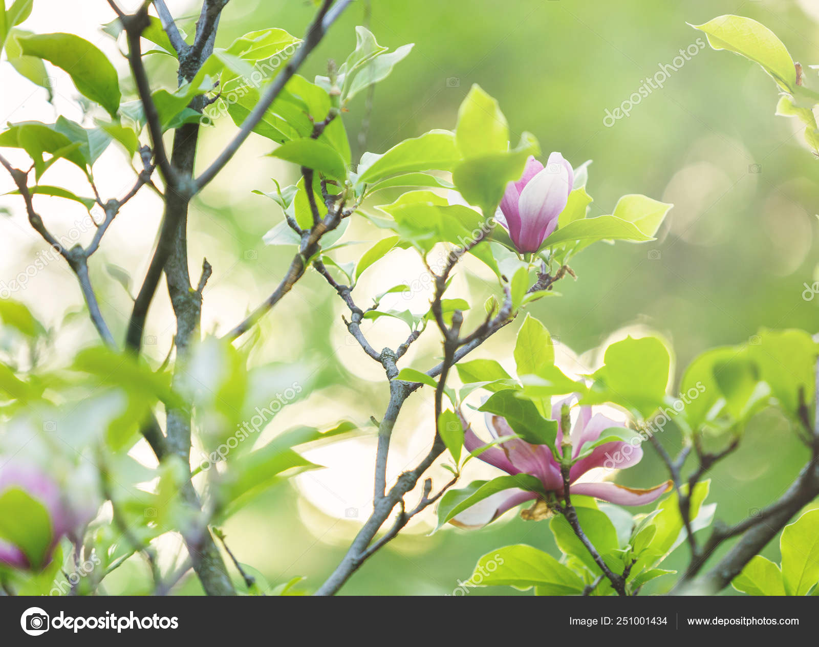 Tender Pink Magnolia Flowers Green Leaves Garden Sunlights Magnolia