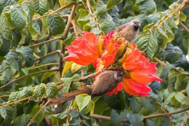 Speckled mousebirds, bird with long tail on orange flowers of African Tulip tree in Arusha Region, Tanzania, East Afric