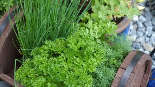 Kuchyňské byliny v zahradě, pažitka, petržel, kopr, v malém dřevěném sudu