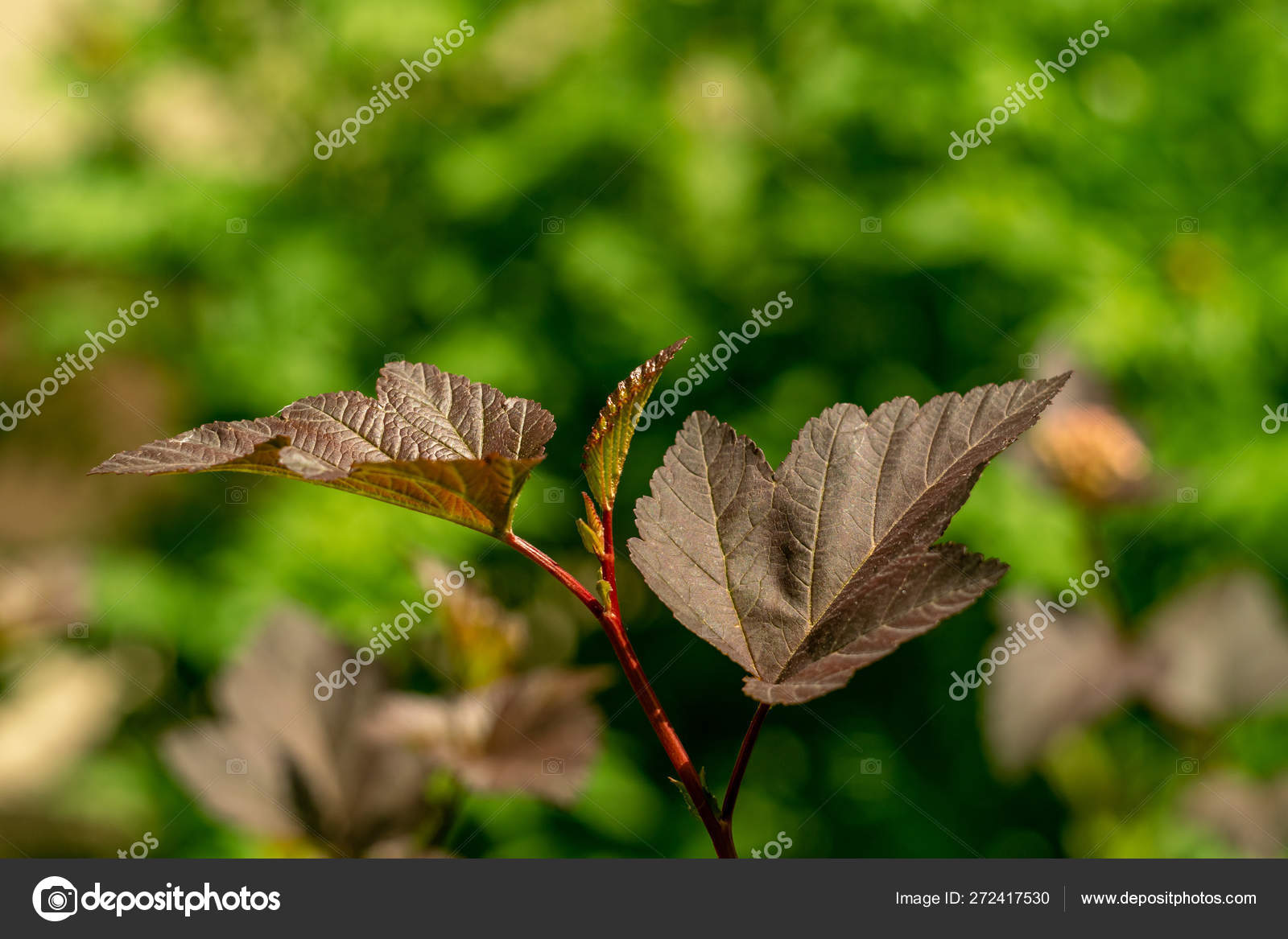 Young Branch Common Ninebark Green Garden Background Leaves Red