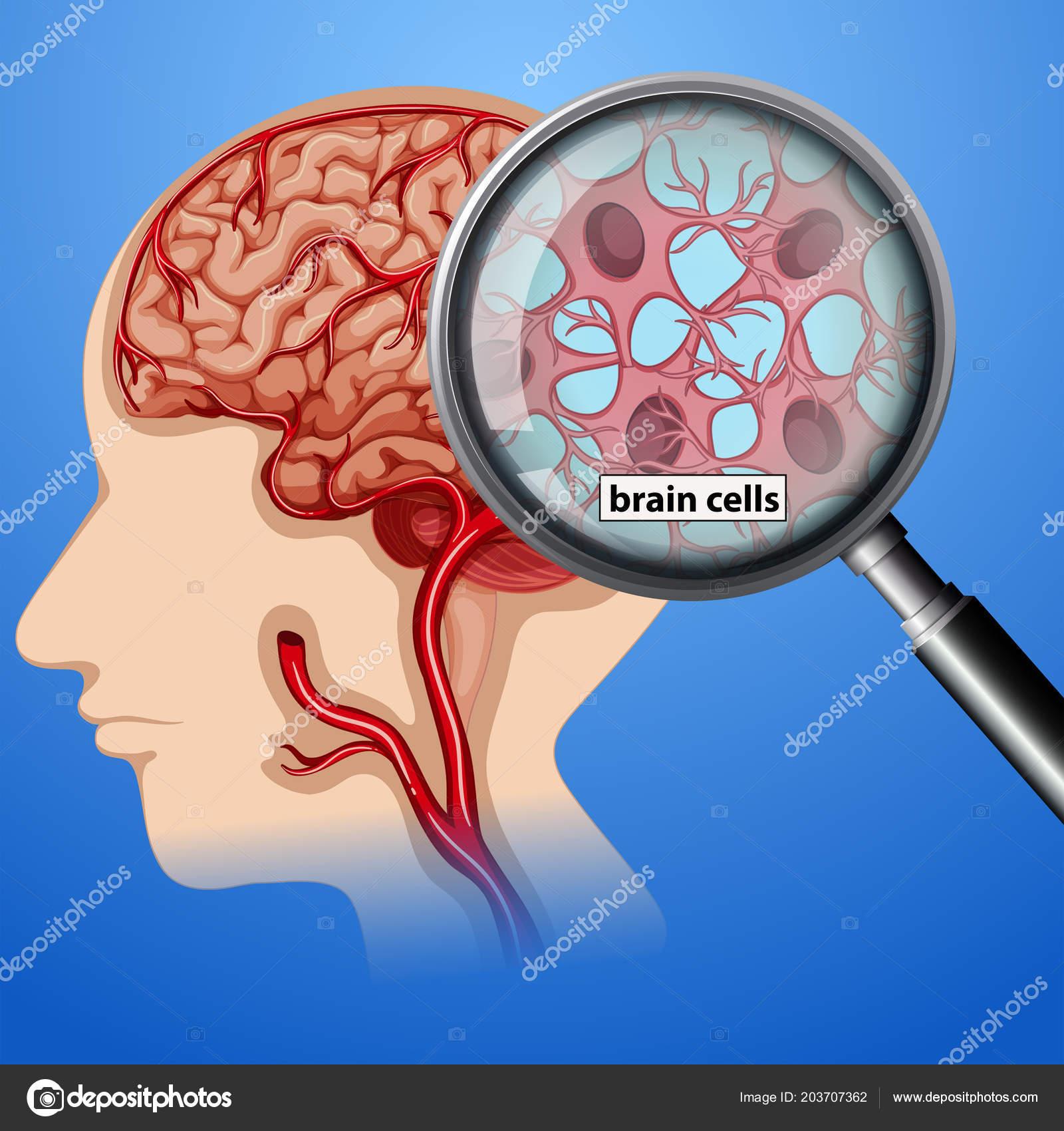 Human Brain Cells Anatomy Illustration — Stock Vector ...
