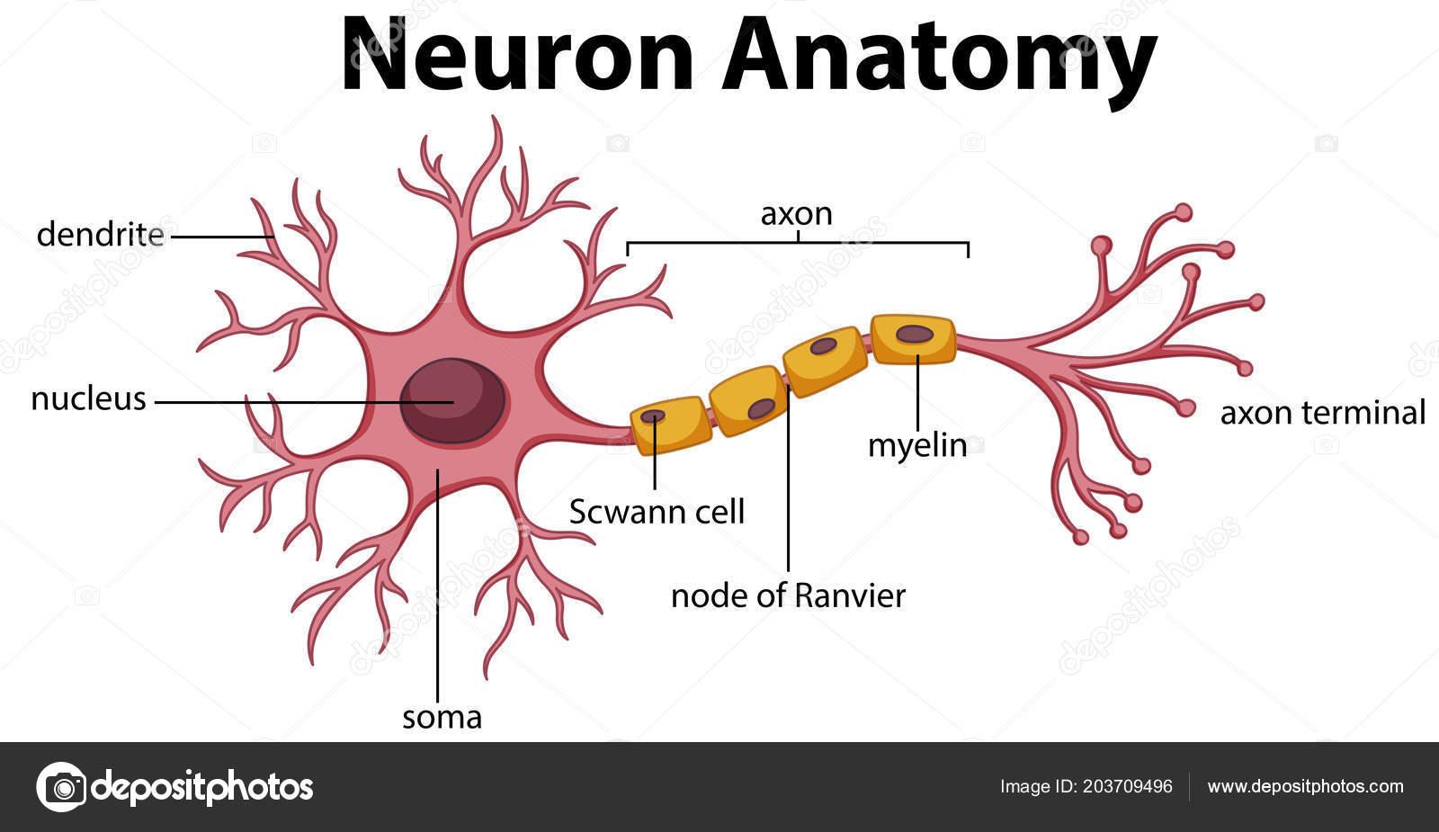 Diagram neuron anatomy illustration vetores de stock diagram neuron anatomy illustration vetores de stock ccuart Images