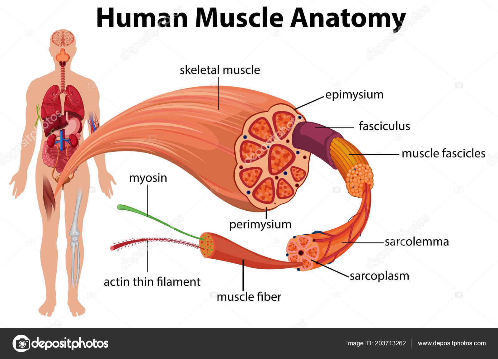 Human Muscle Anatomy Diagram Illustration — Stock Vector ...
