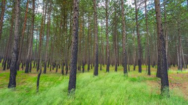Pine forest after a fire in Lithuania