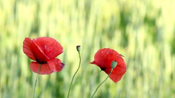 Divoký červený mák květiny v zeleném poli
