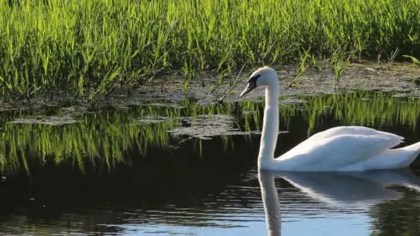 Boční pohled na rybník labuť