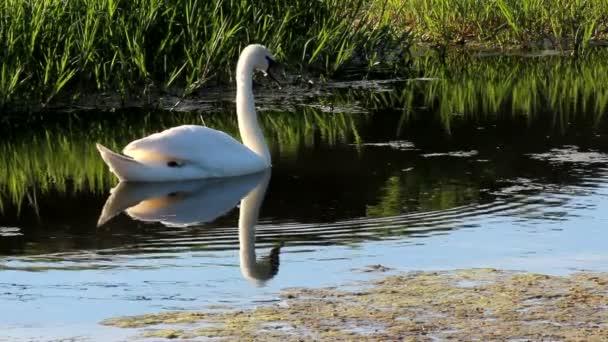 Labuť, Cygnus olor, plovoucí na rybník