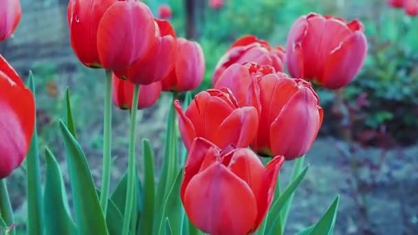 Hermosos Tulipanes Rojos Crecen En El Jardín Floración De Primavera