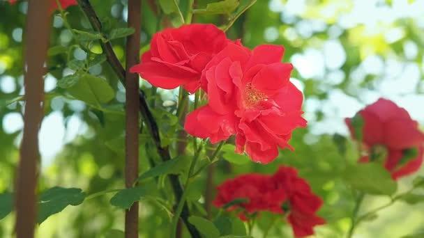 Několik rudých růží, kvetoucích v létě. Přírodní červené růže se zelenými listy, kvetoucí v zahradě. Venkovní růženec zblízka. Květy růže bush. Rozmazané pozadí, měkké Selektivní ostření