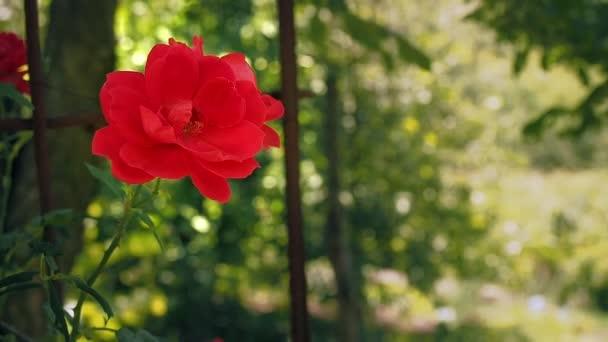 Jediné rudé růže na pozadí zelených listů. Červená růže kvetoucí v zahradě. Růže s květy červenými květy, zblízka. Květina, kvetoucí v létě. Rozmazané pozadí, měkké Selektivní ostření
