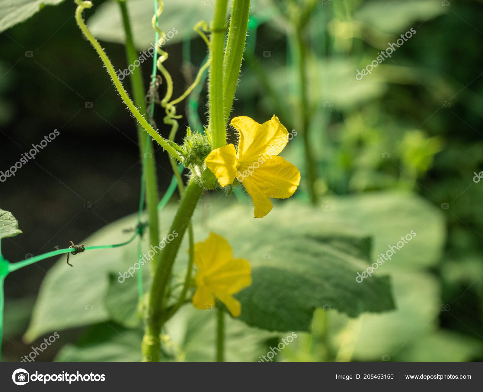 Yellow Flowers On Green Cucumber Leaves Close Up View Cucumber
