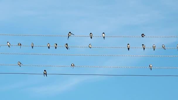 Nyáj madarak ülnek, elektromos vezetékek. Fekete-fehér madarak rögzített, míg a prinking. Madarak, a háttérben a kék nyári ég.
