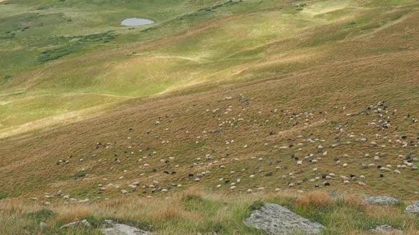 Stádo ovcí na horské pastviny. Karpaty hory v létě. Velmi dlouhý záběr. Ovce pasou na pastvinách. Ukrajinská příroda krajina. Venkovského pozadí. Selektivní rozostřený