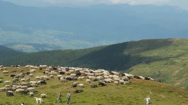 Karpaty hory v létě. Stádo ovcí vycházkové zelené kopce. Extrémní záležitost. Hory pokryté zelenou trávu a stromy. Herdmen porostů stádo ovcí. Rozmazané pozadí