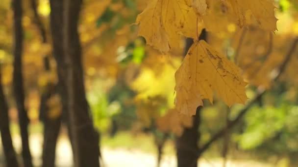 Žluté listy houpat ve větru v podzimním lese. Zavřete výstřel. Podzimní lesní krajina s efektem bokeh. Přírodní pozadí. Žlutá a zelená bokeh. Rozmazané pozadí. Selektivní rozostřený