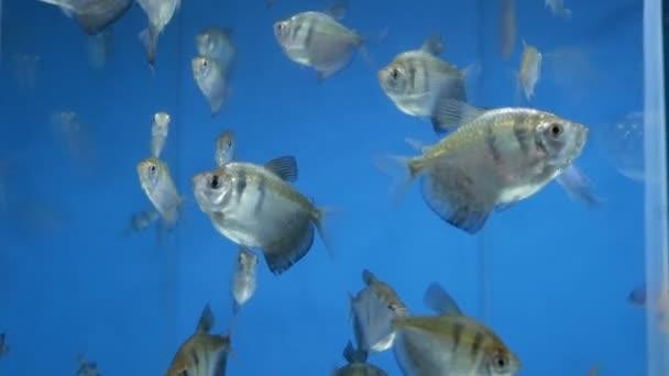 Schwarze Tetra, Schwarze Witwe Tetra Fische im Aquarium