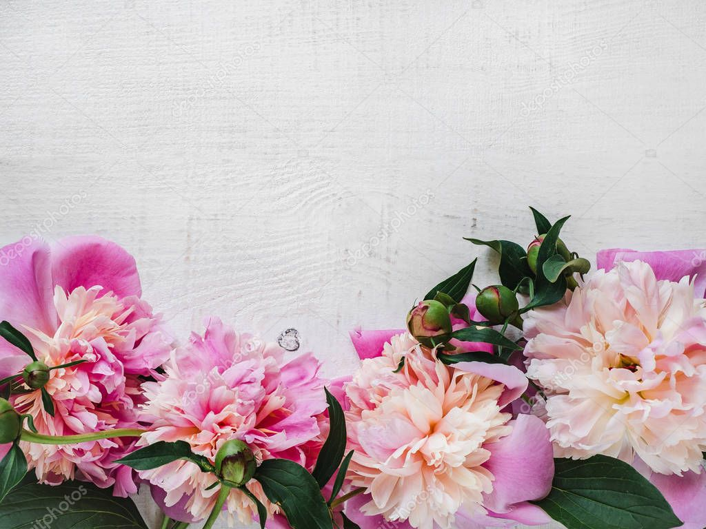 Peonies, space for your inscriptions on a white background
