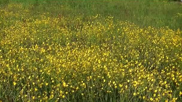 Velké pole zářivě žluté květy