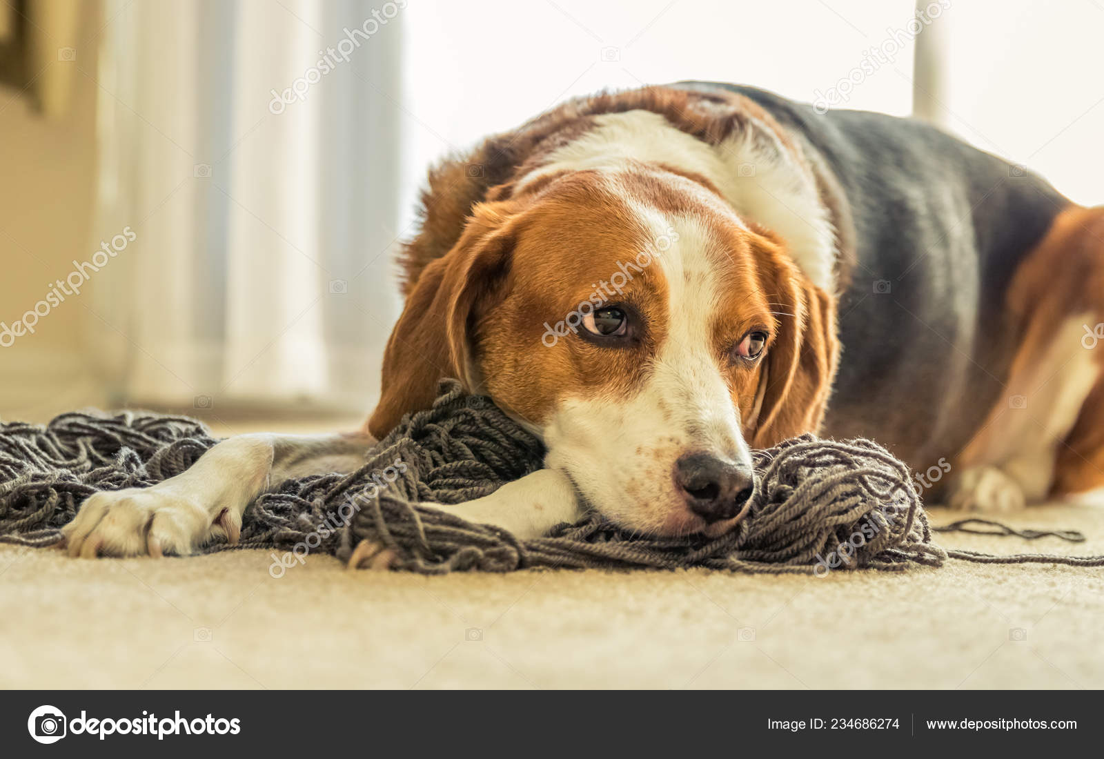 Adorable Beagle Dog Mix Laying Big Tangled Mess Grey Yarn Stock Photo C Ryanhoel 234686274