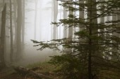 Fog in the forest between tree trunks and spruce tree