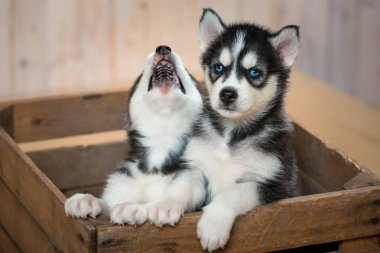 The two little puppies of the huskies sit in the box and look out of it. Puppies of Husky breed.