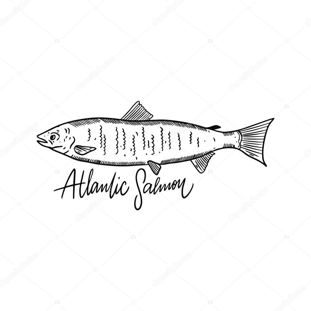 Fish Atlantic Salmon. Hand drawn vector illustration. Engraving style. Isolated on white background.