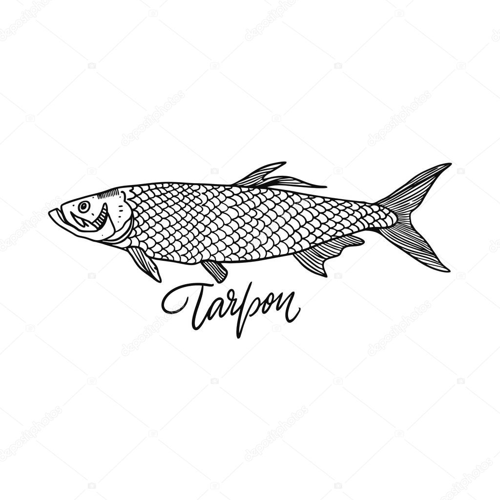 Fish Tarpon. Hand drawn vector illustration. Engraving style. Isolated on white background.