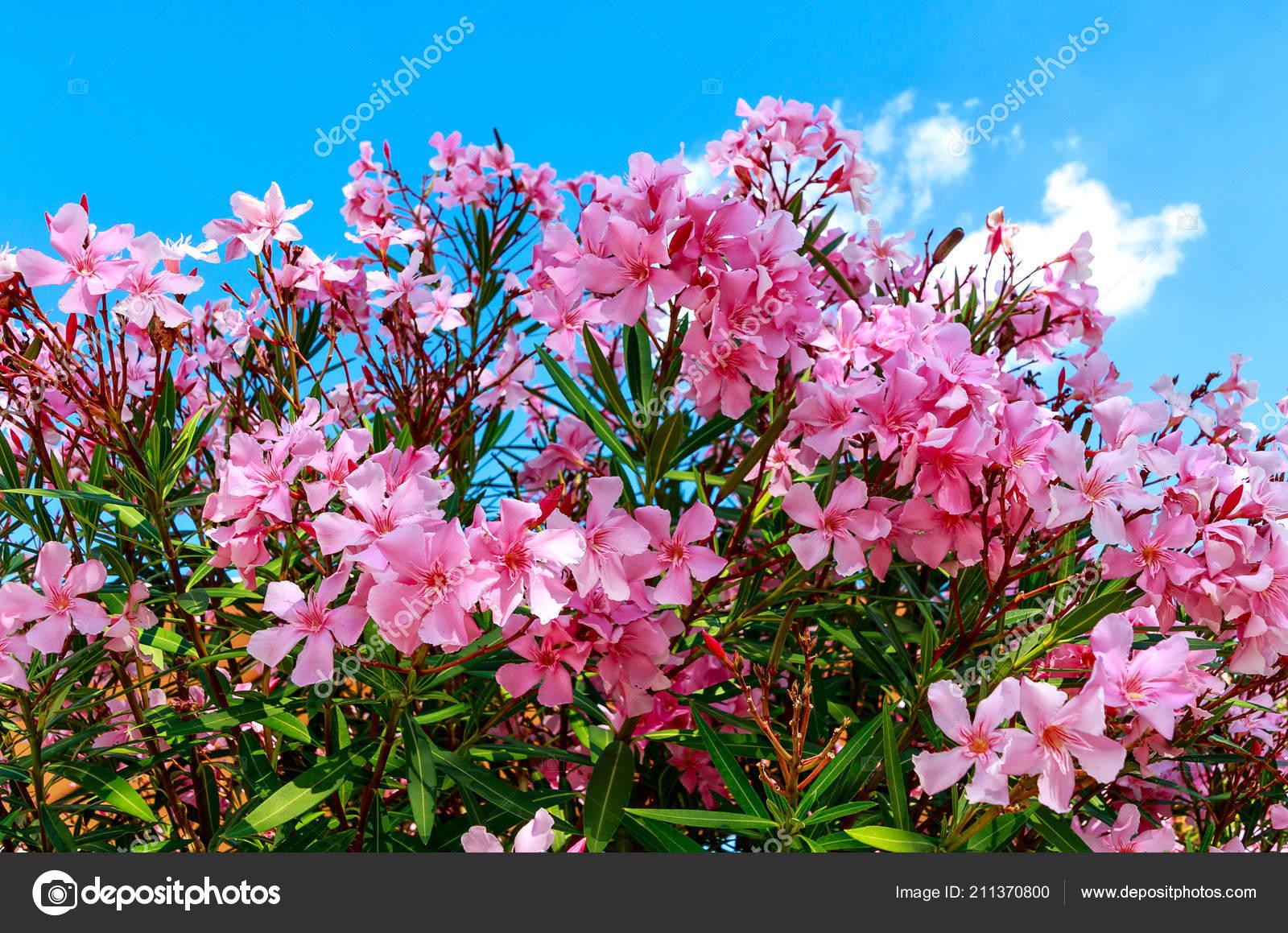 Beautiful pink flowering oleander nerium oleander mediterranean bush beautiful pink flowering oleander nerium oleander mediterranean bush in full bloom photo by moskwa mightylinksfo