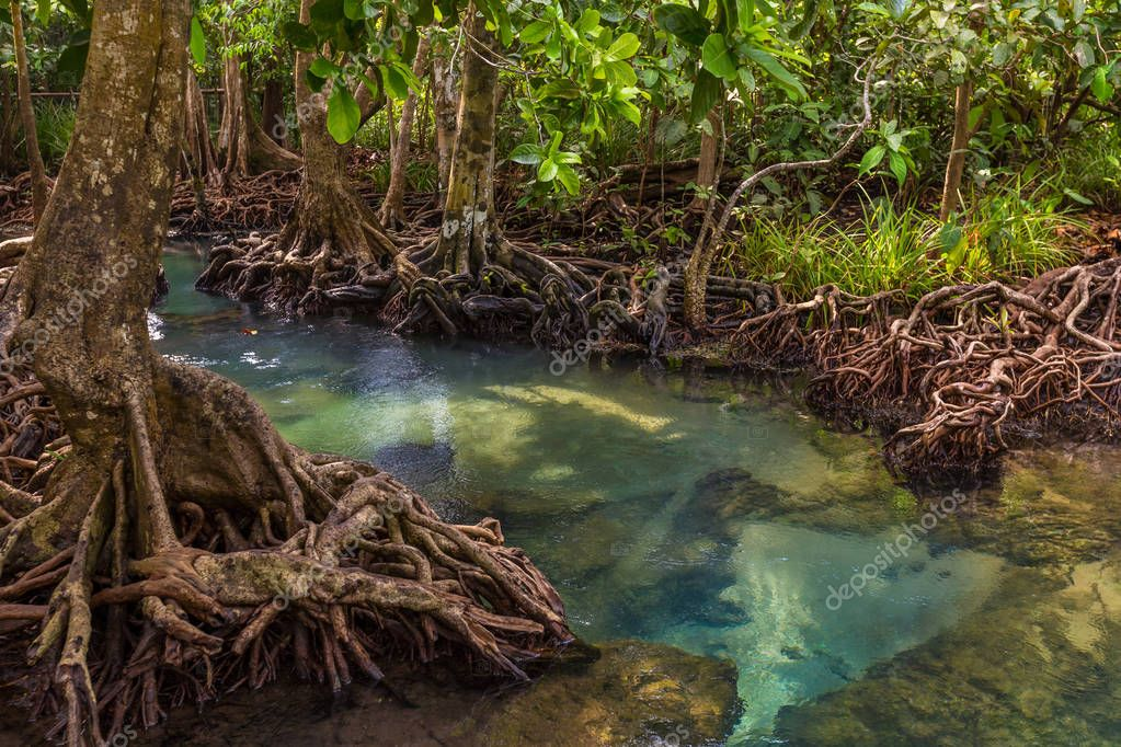 The clear green stream flows through the mangrove forest root. In the midst of the shady and beautiful nature. Tha Pom Klong Song Nam beautiful and famous tourist destination in Krabi, Thailand.