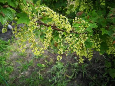 Blooming currant Bush in spring in the garden.