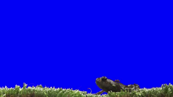 Chroma Key Effect Frog. Keying Click. Blue Screen