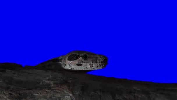 Chroma klíč efekt zvířecích záběry. Klíčování kliknutím. Hadí hlava klíčování