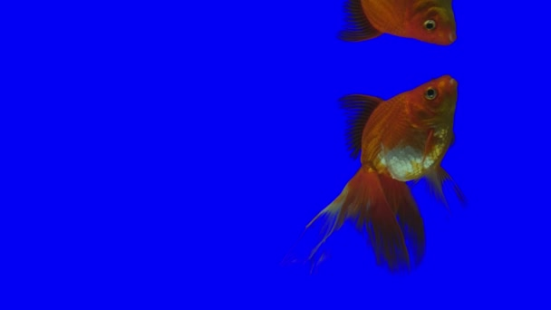 Chroma Key Effect Animal Footage. Fish on green screen. Keying click. aquarium with fish