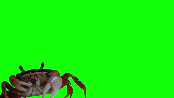 Chroma Key Effect Animal Footage. Keying Click. Crab rainbow, cleans eyes, breathes air and crawls